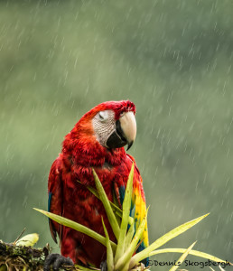 3218 Scarlet Macaw (Ara ambiguus). Costa Rica