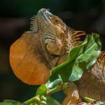 3219 Iguana, Selva Verde Lodge, Costa Rica