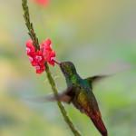 3223 Rufous-tailed Hummingbird (Amazilia tzacatl). Laguna del Lagarto, Costa Rica