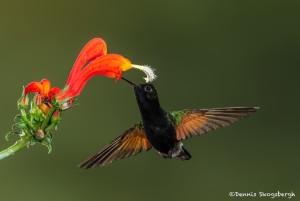 3224 Black-bellied Hummingbird (Eupherusa nigriventris). Catarata Del Toro, Costa Rica