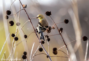 3025 Male, American Goldfinch (Spinus tristis). Hagerman National Wildlife Refuge, TX