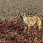 3026 Coyote (Canis latrans). Hagerman National Willdife Refuge, TX