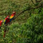 3227 Scarlet Macaw (Ara ambiguus). Costa Rica