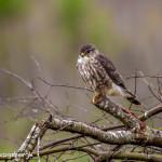 3258 Merlin (Falco columbarius). Anahuac NWR, TX