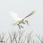 3261 Great Egret (Ardea alba), Nest-building. Anahuac NWR, TX
