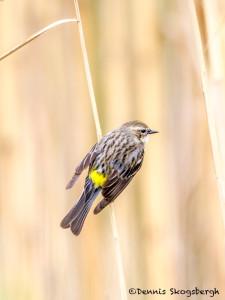 3263 Yellow-rumped Warbler (Setophag coronata). Anahuac NWR, TX