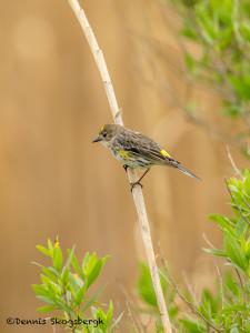 3264 Yellow-rumped Warbler (Setophaga coronata). Anahuac NWR, TX