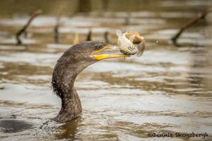 3266 Neotropic Cormorant (Phalacrocorax brasilianus). Anahuac NWR, TX