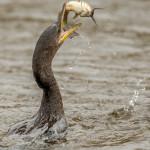 3267 Neotropic Cormorant (Phalacrocorax brasilianus). Anahuac NWR, TX