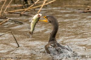 3269 Neotropic Cormorant (Phalacrocorax brasiliansus). Anahuac NWR, TX