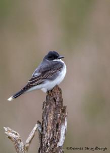 3270 Eastern Kingbird (Tyrannus tyrannus). Anahuac NWR, TX