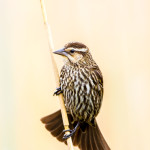 3272 Female Red-winged Blackbird (Angelaius phoeniceus). Anahuac NWR, TX