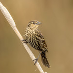3273 Red-winged Blackbird (Angelaius phoeniceus). Anahuac NWR, TX