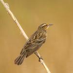 3274 Female Red-winged Blackbird (Angelaius phoeniceus). Anahuac NWR, TX