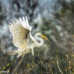 3275 Great Egret (Ardea alba). Anahuac NWR, TX