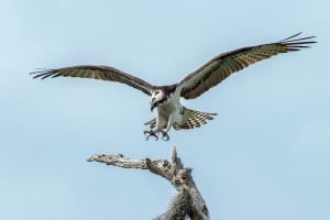 3295 Osprey (Pandion haliaetus), Florida