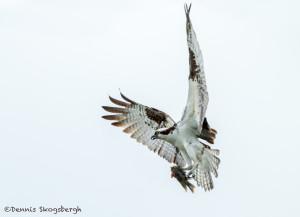 3296 Osprey (Pandion haliaetus), Florida