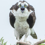 3298 Osprey (Pandion haliaetus), Florida