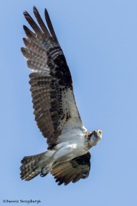 3299 Osprey (Pandion haliaetus), Florida