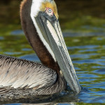3301 Breeding Brown Pelican (Pelicanus occidentalis), Florida