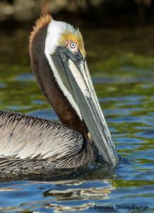 3301 Breeding Brown Pelican (Pelicanus occidentalis), Florida