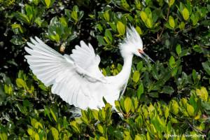 3303 Breeding Snowy Egret (Egretta thula), Florida