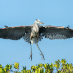 3304 Breeding Great Blue Heron (Ardia herodias), Florida