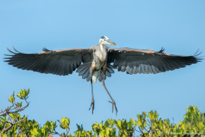 3304 Breeding Great Blue Heron (Ardia herodias), Florida