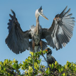 3305 Breeding Great Blue Heron Ardea herodias), Florida