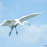 3306 Breeding Great Egret (Ardea alba), Florida