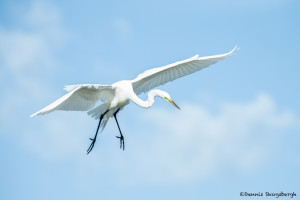 3306 Breeding Great Egret (Ardea alba), Florida
