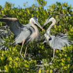3307 Great Blue Heron, Breeding Pair (Ardea herodias), Florida