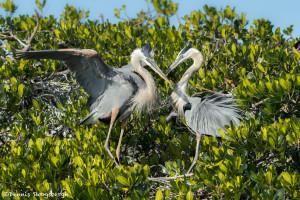 3307 Great Blue Heron, Breeding Pair (Ardea herodias), Florida