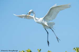 3308 Breeding Great Egret (Ardea alba), Florida