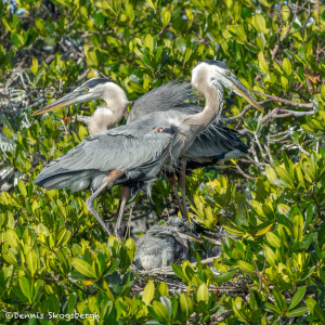 3309 Great Blue Heron Family (Ardea herodias), Florida