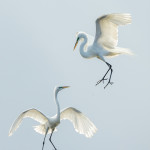 3310 Great Egrets (Ardea alba), Florida
