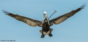 3311 Breeding Brown Pelican (Pelecanus occidentalis), Florida