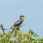 3311 Female Breeding Anhinga (Anhinga anhinga), Florida