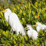 3312 Great Egret with Chicks (Ardea alba), Florida