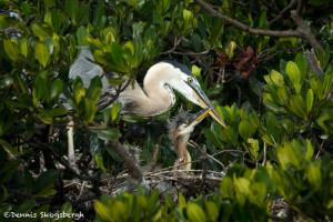3313 Great Blue Heron and Chick (Ardea herodias), Florida