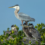 3314 Great Blue Heron and Chicks (Ardea herodias), Florida