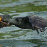 3318 Double-crested Cormorant, Breeding (Phalacrororax auritus), Florida