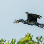 3320 Double-crested Cormorant, Breeding (Phalacrocorax auritus), Florida