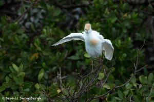 3321 Breeding Cattle Egret (Bulbicus ibis), Florida