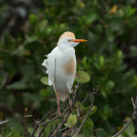 3322 Breeding Cattle Egret (Bulbicus ibis), Florida