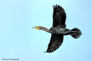 3323 Breeding Double-crested Cormorant (Phalacrocorax auritus), Florida