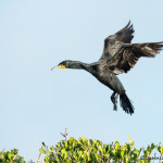 3324 Breeding Double-crested Cormorant (Phalacrocorax auritus), Florida