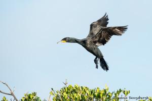 3324 Breeding Double-crested Cormorant (Phalacrocorax auritus), Florida