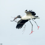 3327 Breeding Wood Stork (Mycteria americana), Florida