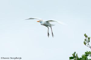 3328 Breeding Cattle Egret (Bulbicus ibis), Florida